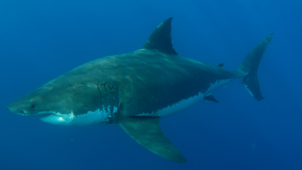 Great White Shark Reproduction   Why Female Great White Sharks Avoid Males For Months On End