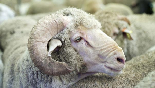 06_sheep