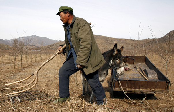 A farmer carries a rack as he collects firewood using a donkey and cart in his field located near his house in the village of Da Shi Men, around 80 kilometres northeast of Beijing
